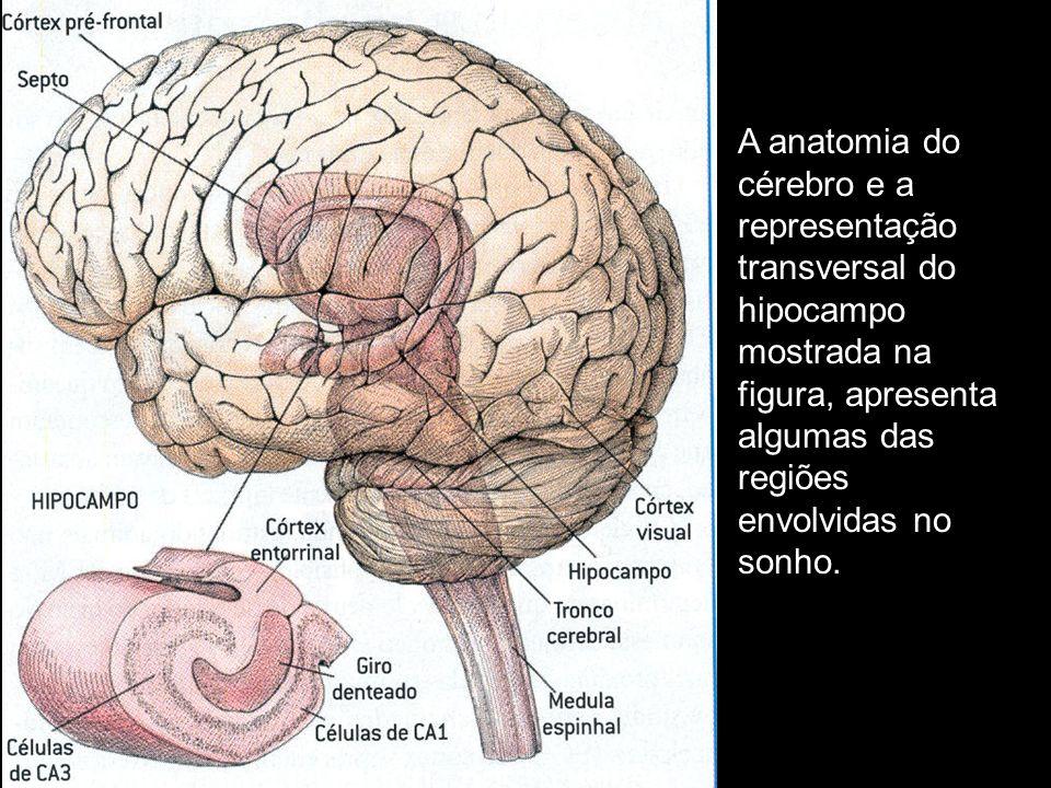 A anatomia do cérebro e a representação transversal do hipocampo mostrada na figura, apresenta algumas das regiões envolvidas no sonho.