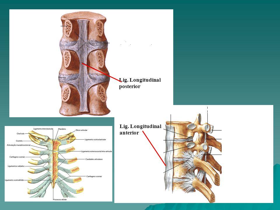 Lig. Longitudinal posterior Lig. Longitudinal anterior