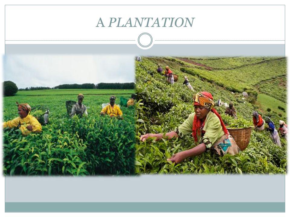 A PLANTATION