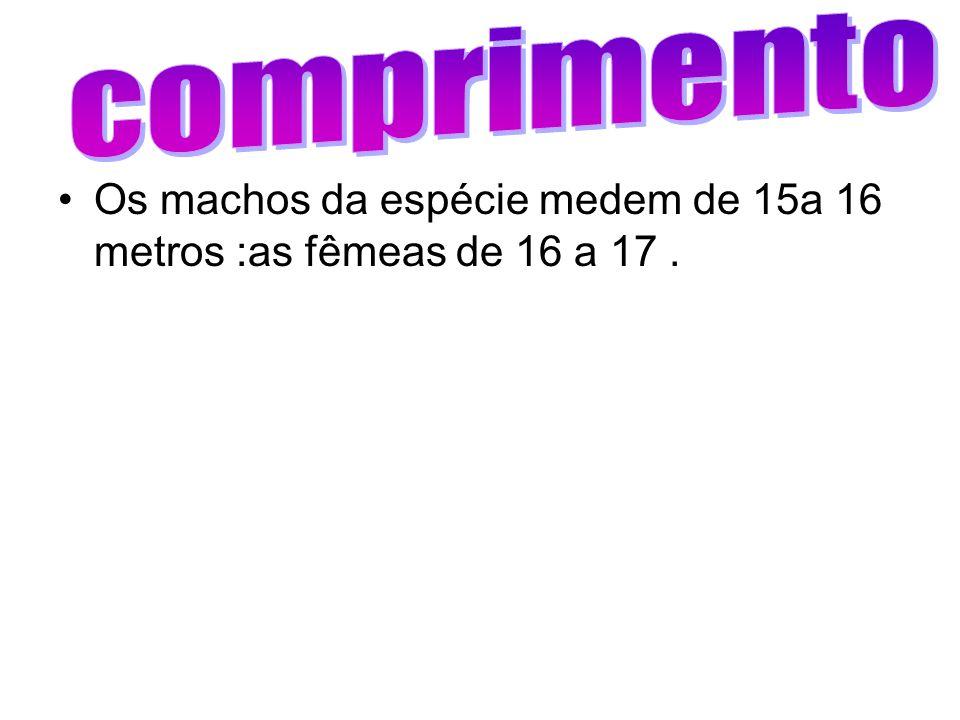 comprimento Os machos da espécie medem de 15a 16 metros :as fêmeas de 16 a 17 .