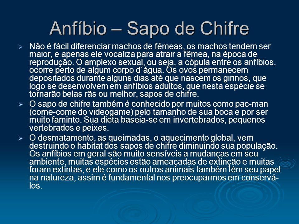 Anfíbio – Sapo de Chifre