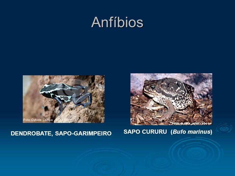 SAPO CURURU (Bufo marinus) DENDROBATE, SAPO-GARIMPEIRO