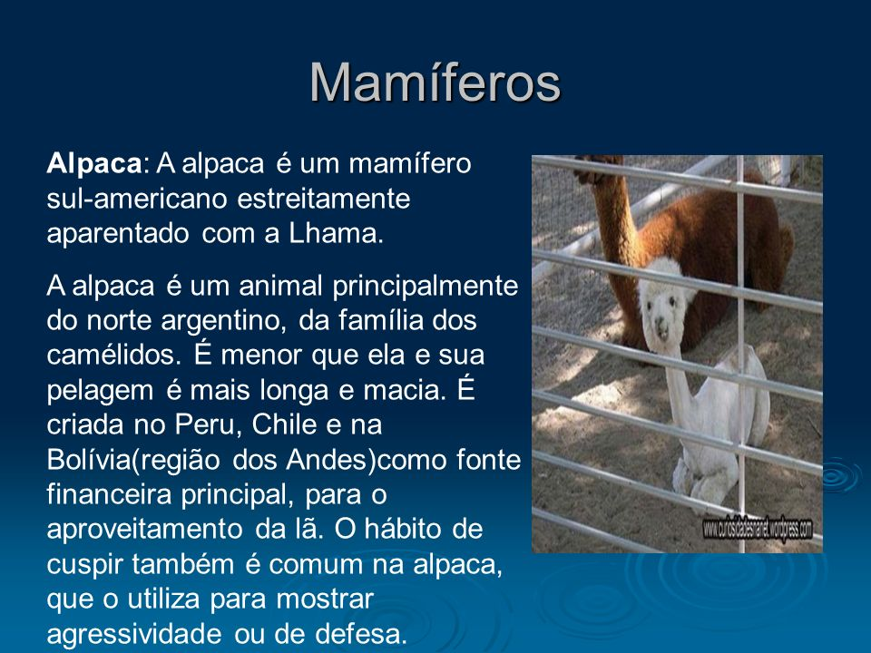 Mamíferos Alpaca: A alpaca é um mamífero sul-americano estreitamente aparentado com a Lhama.