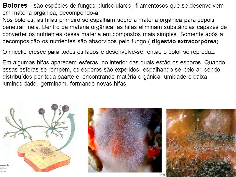 Bolores - são espécies de fungos pluricelulares, filamentosos que se desenvolvem em matéria orgânica, decompondo-a. Nos bolores, as hifas primeiro se espalham sobre a matéria orgânica para depois penetrar nela. Dentro da matéria orgânica, as hifas eliminam substâncias capazes de converter os nutrientes dessa matéria em compostos mais simples. Somente após a decomposição os nutrientes são absorvidos pelo fungo ( digestão extracorpórea).