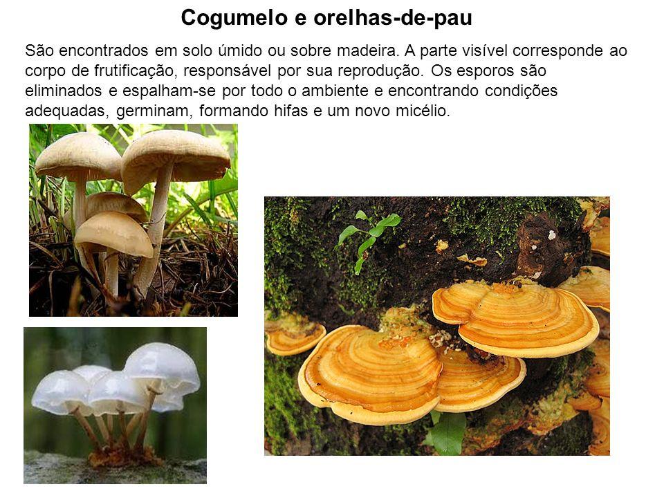 Cogumelo e orelhas-de-pau