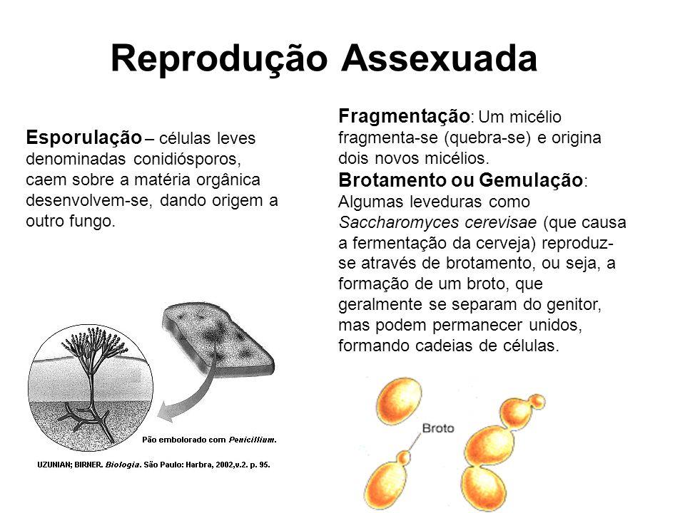 Reprodução Assexuada Fragmentação: Um micélio fragmenta-se (quebra-se) e origina dois novos micélios.