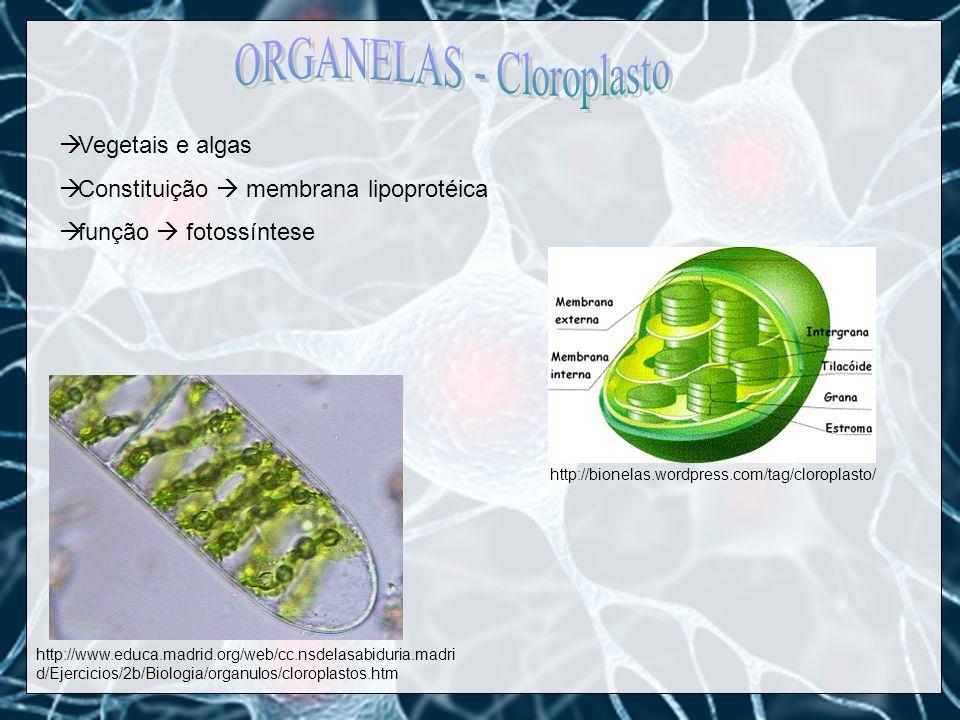 ORGANELAS - Cloroplasto