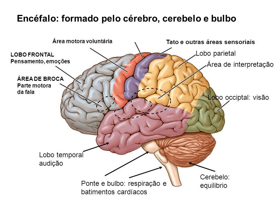 Encéfalo: formado pelo cérebro, cerebelo e bulbo