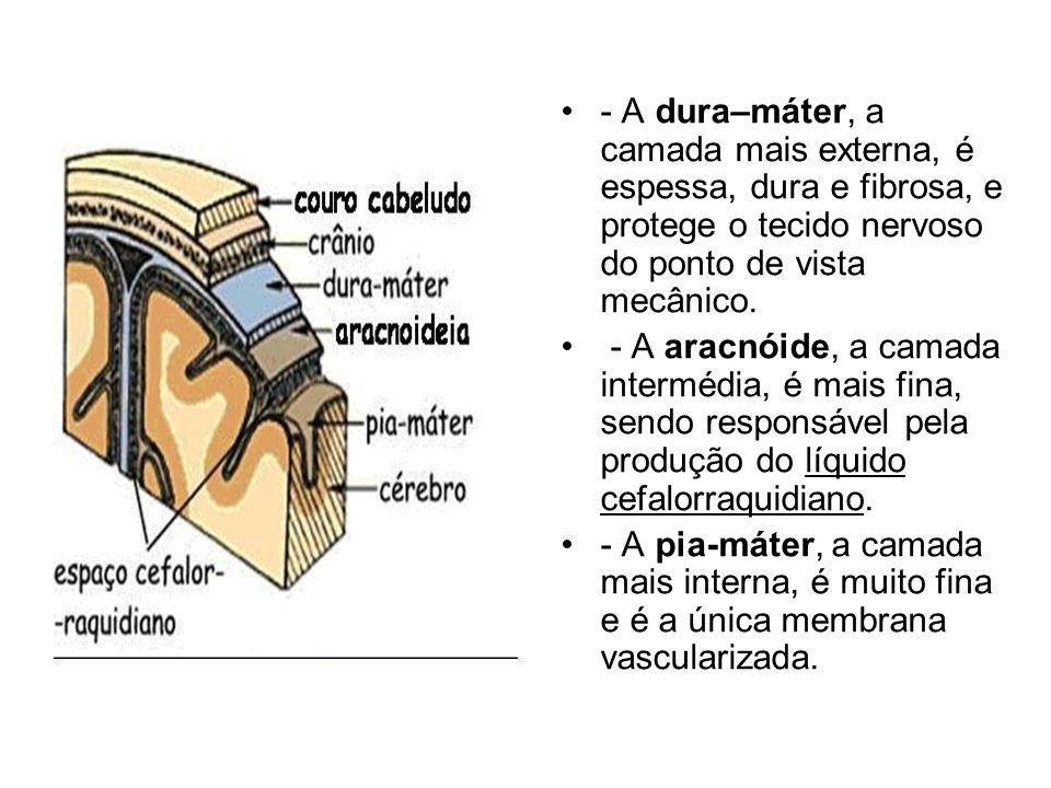 - A dura–máter, a camada mais externa, é espessa, dura e fibrosa, e protege o tecido nervoso do ponto de vista mecânico.
