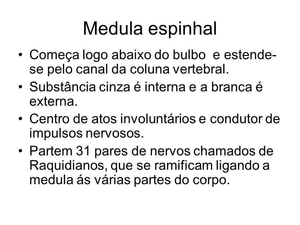 Medula espinhal Começa logo abaixo do bulbo e estende-se pelo canal da coluna vertebral. Substância cinza é interna e a branca é externa.