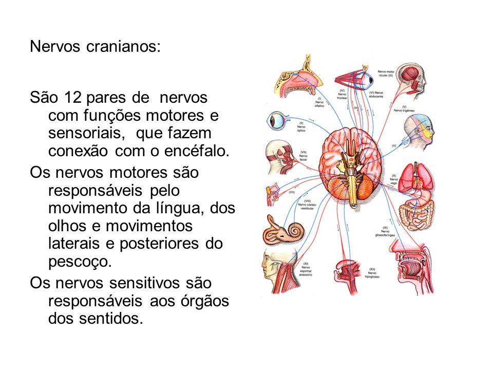 Nervos cranianos: São 12 pares de nervos com funções motores e sensoriais, que fazem conexão com o encéfalo.