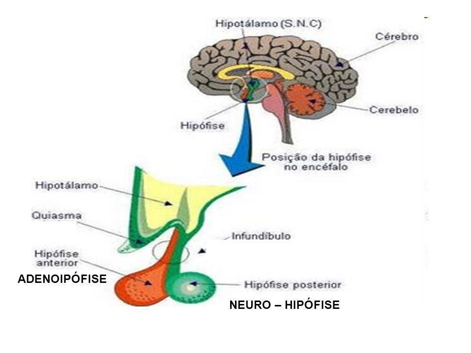 ADENOIPÓFISE NEURO – HIPÓFISE