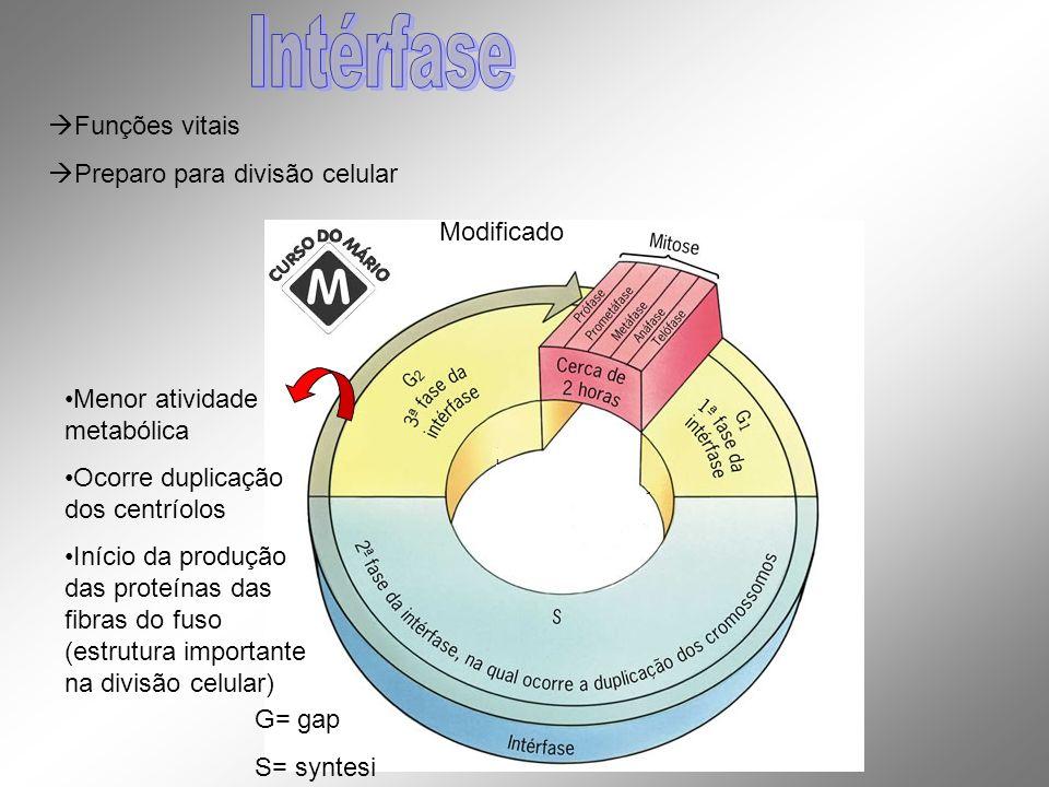 Intérfase Funções vitais Preparo para divisão celular Modificado