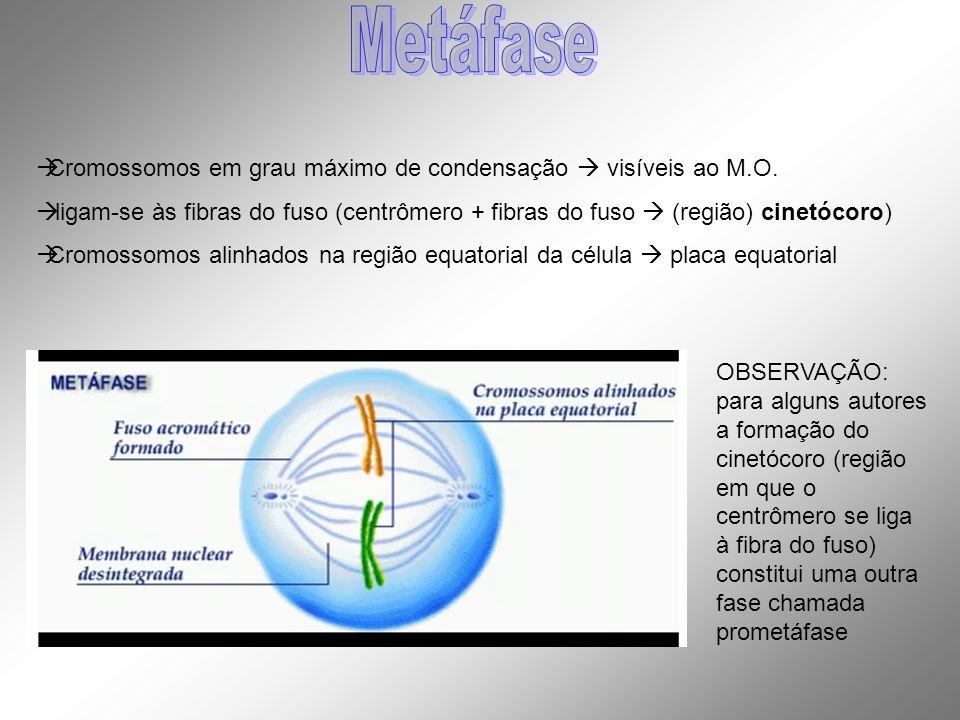 Metáfase Cromossomos em grau máximo de condensação  visíveis ao M.O.