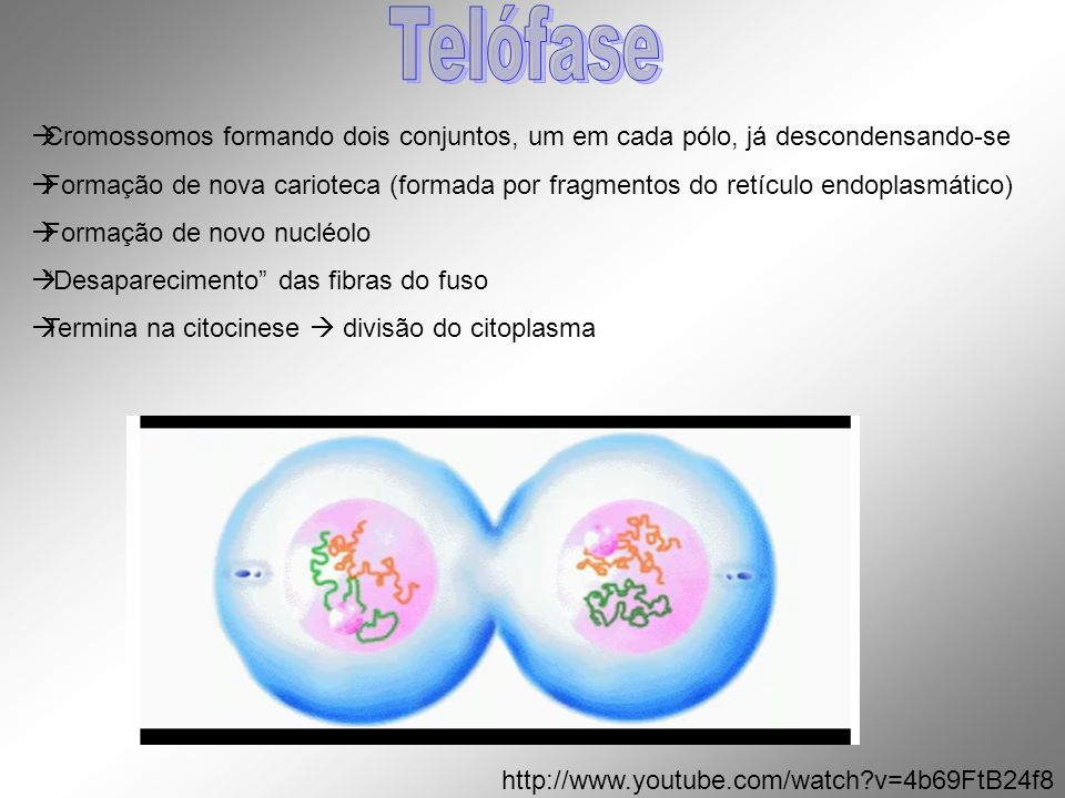 Telófase Cromossomos formando dois conjuntos, um em cada pólo, já descondensando-se.