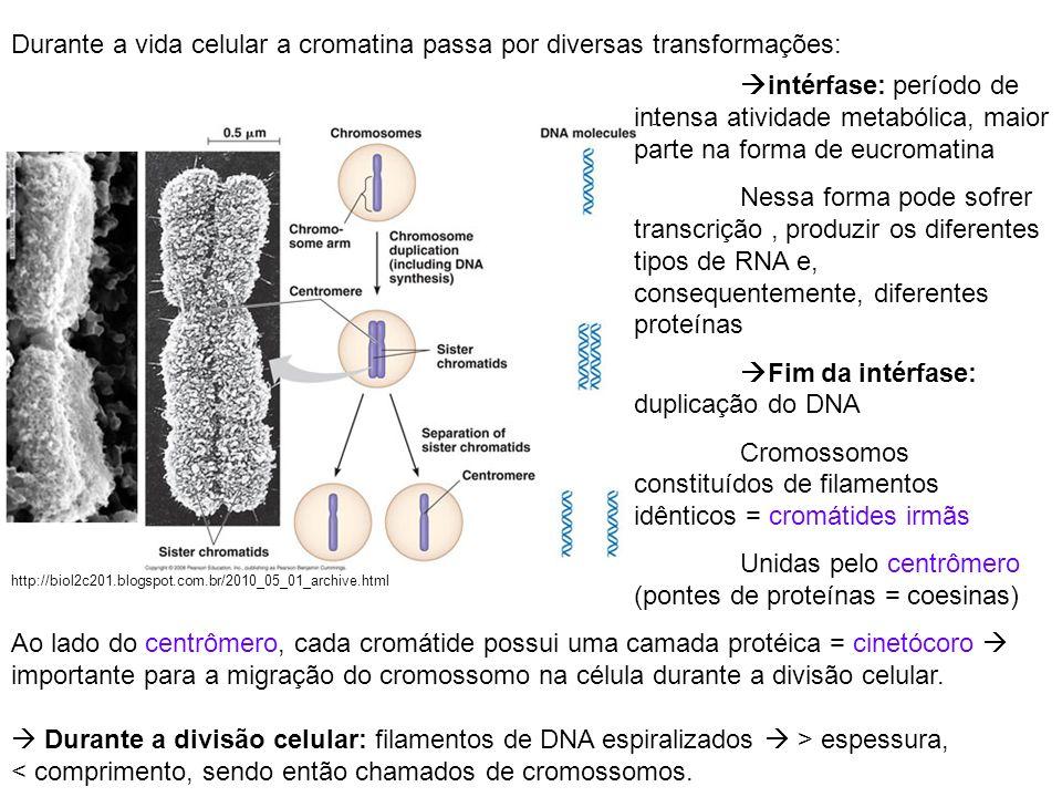 Durante a vida celular a cromatina passa por diversas transformações: