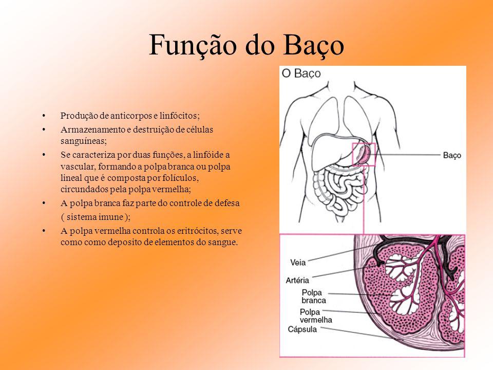 Função do Baço Produção de anticorpos e linfócitos;
