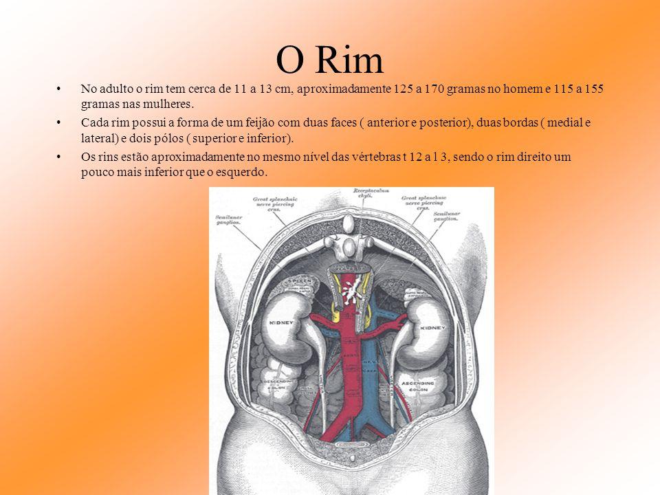 O Rim No adulto o rim tem cerca de 11 a 13 cm, aproximadamente 125 a 170 gramas no homem e 115 a 155 gramas nas mulheres.