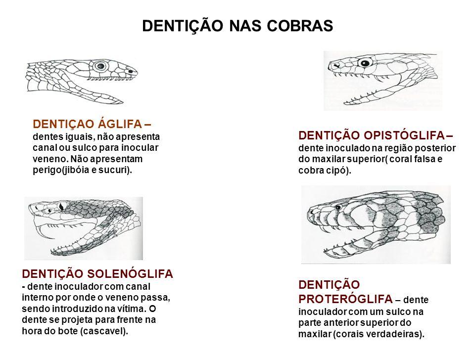 DENTIÇÃO NAS COBRAS DENTIÇAO ÁGLIFA – dentes iguais, não apresenta canal ou sulco para inocular veneno. Não apresentam perigo(jibóia e sucuri).