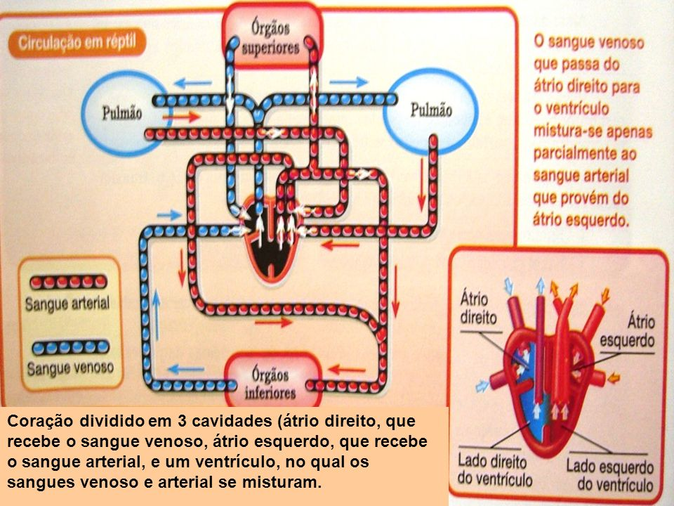 Coração dividido em 3 cavidades (átrio direito, que recebe o sangue venoso, átrio esquerdo, que recebe o sangue arterial, e um ventrículo, no qual os sangues venoso e arterial se misturam.
