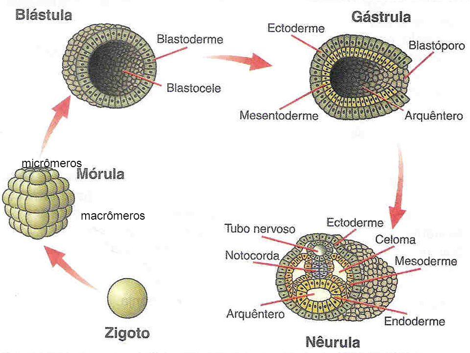 micrômeros macrômeros