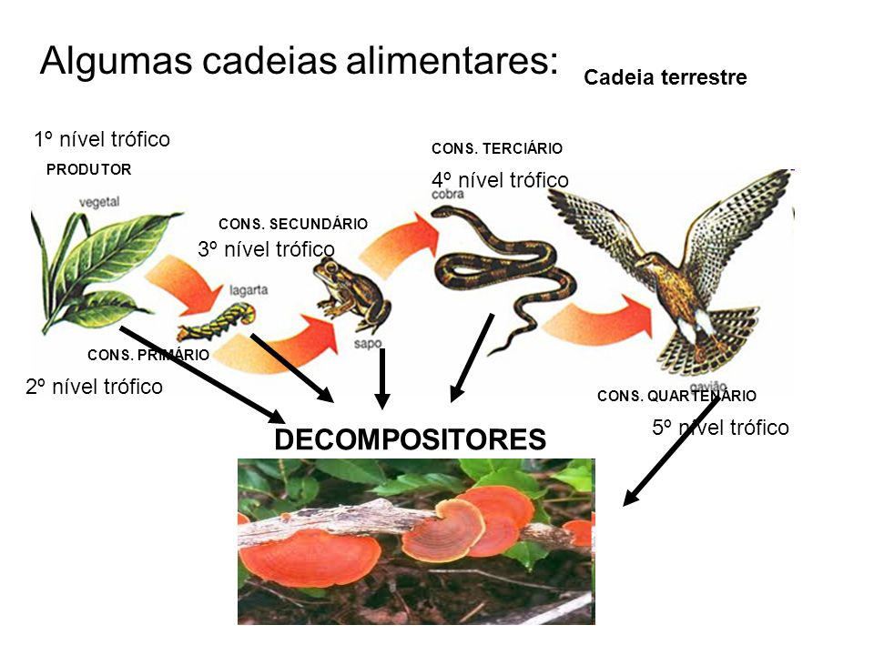 Algumas cadeias alimentares: