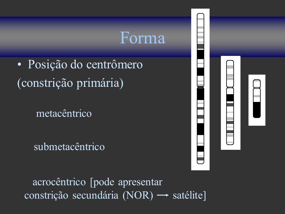 Forma Posição do centrômero (constrição primária) metacêntrico