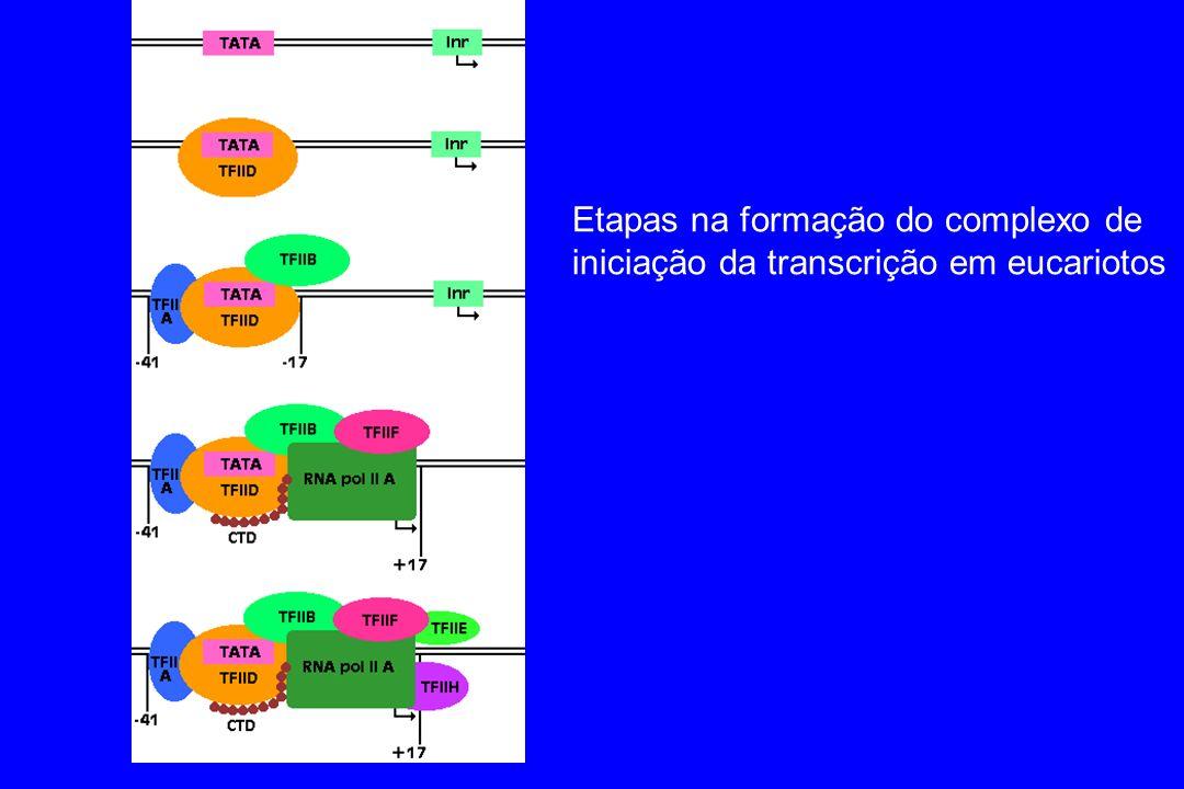 Etapas na formação do complexo de iniciação da transcrição em eucariotos