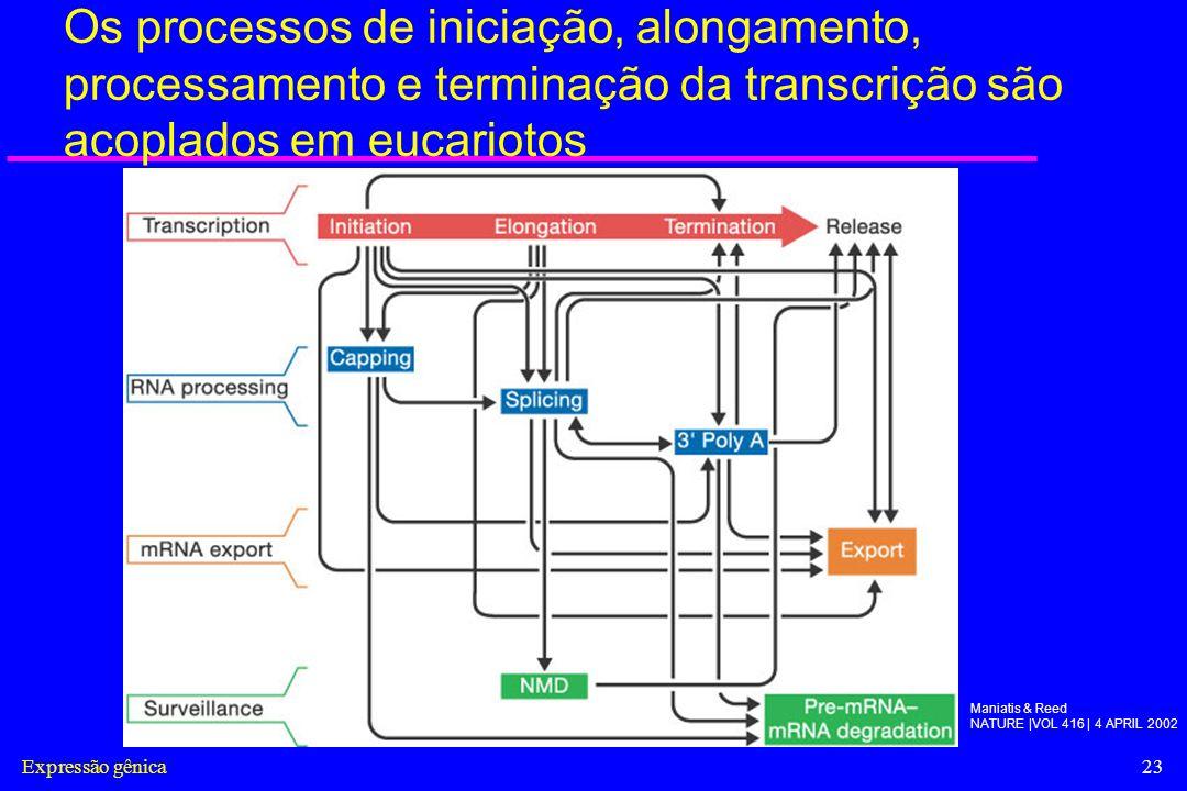 Os processos de iniciação, alongamento, processamento e terminação da transcrição são acoplados em eucariotos