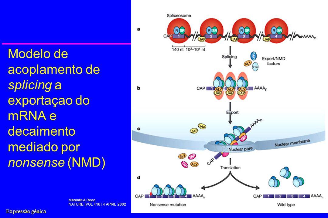 Modelo de acoplamento de splicing a exportaçao do mRNA e decaimento mediado por nonsense (NMD)
