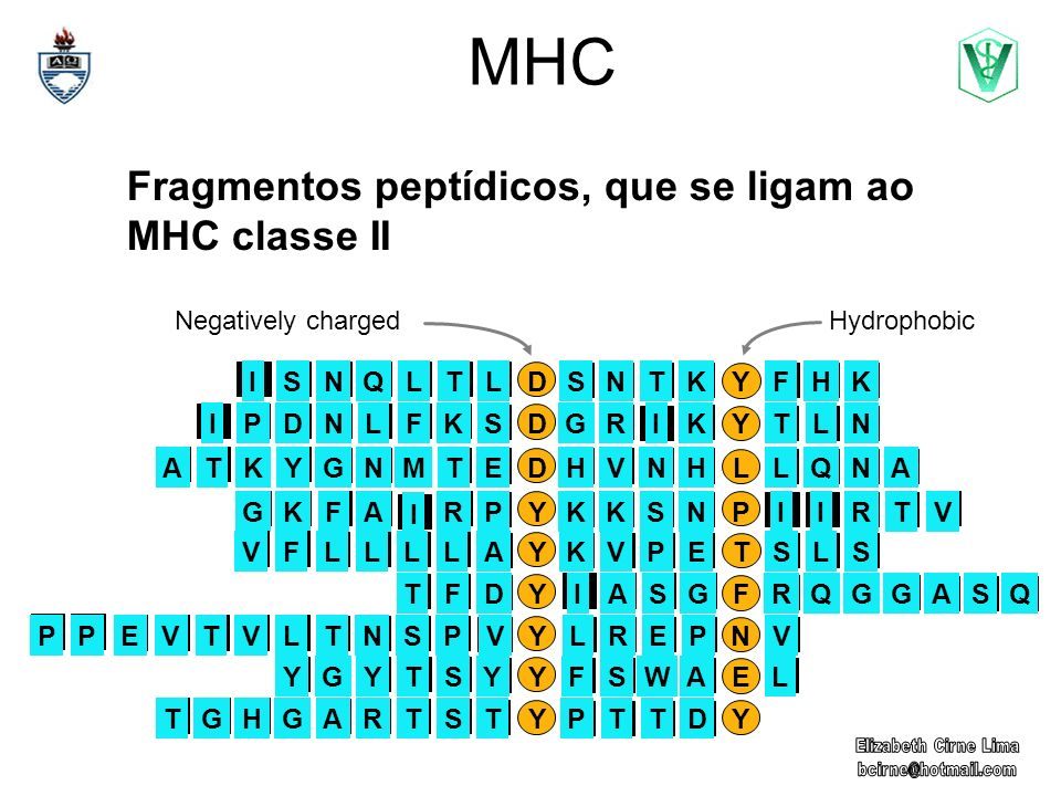 MHC Fragmentos peptídicos, que se ligam ao MHC classe II D Y H K F N T
