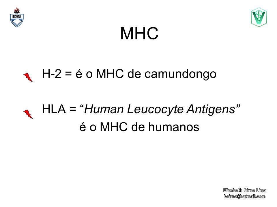 MHC H-2 = é o MHC de camundongo HLA = Human Leucocyte Antigens