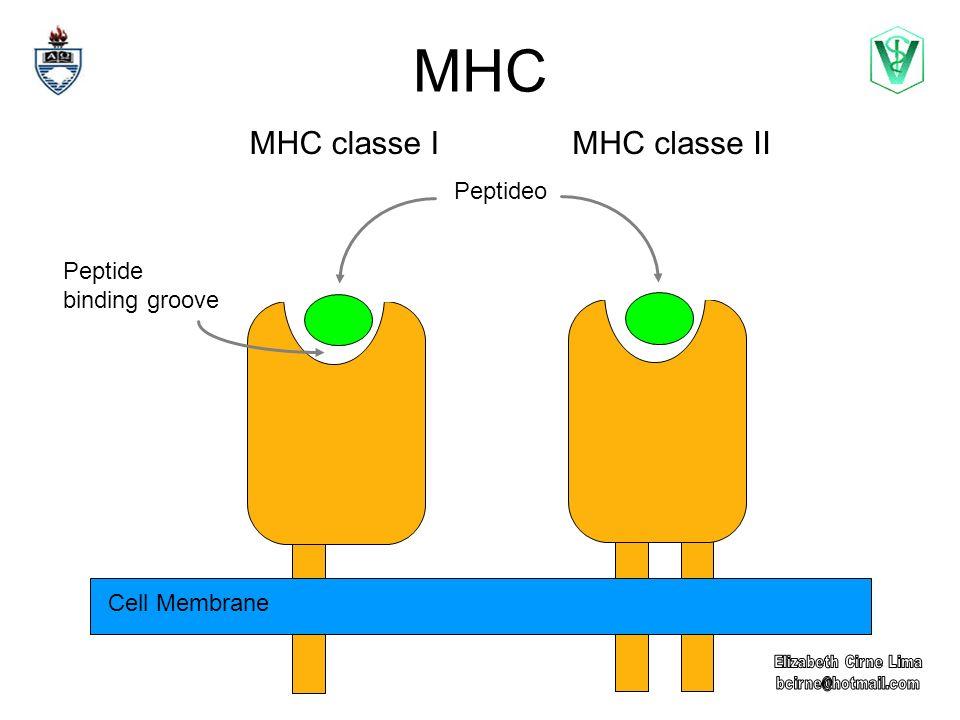 MHC MHC classe I MHC classe II Peptideo Peptide binding groove