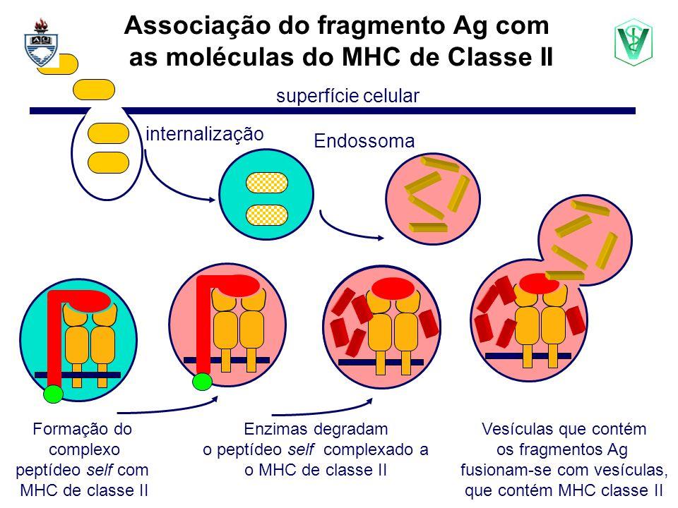 Associação do fragmento Ag com as moléculas do MHC de Classe II