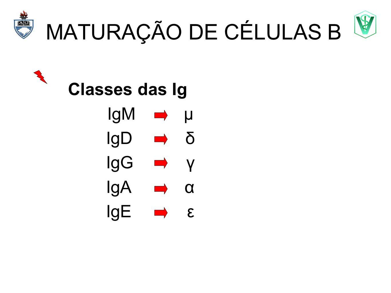 MATURAÇÃO DE CÉLULAS B Classes das Ig IgM μ IgD δ IgG γ IgA α IgE ε