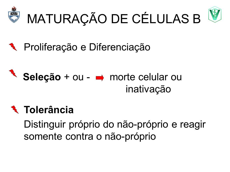 MATURAÇÃO DE CÉLULAS B Proliferação e Diferenciação