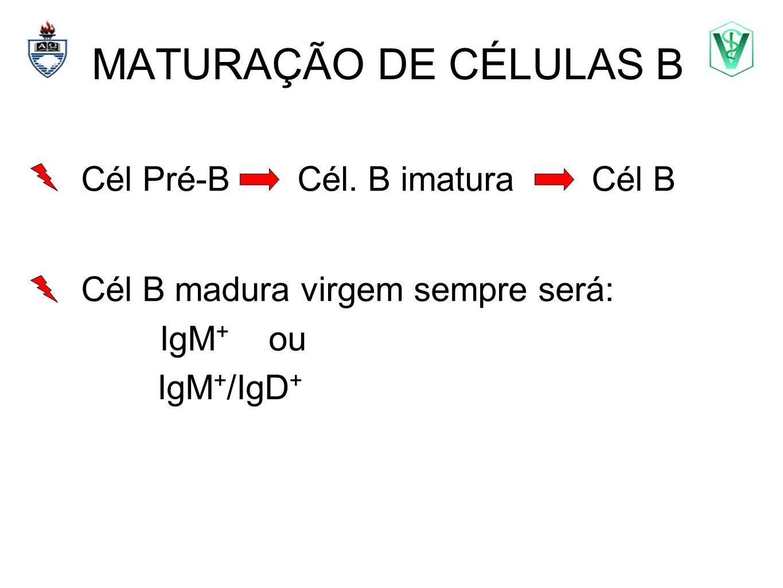 MATURAÇÃO DE CÉLULAS B Cél Pré-B Cél. B imatura Cél B