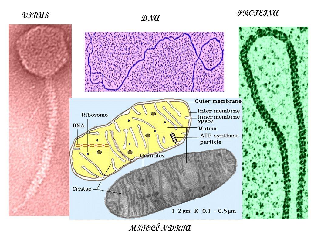PROTEINA VIRUS DNA MITOCÔNDRIA