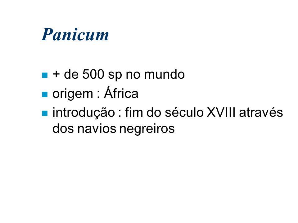 Panicum + de 500 sp no mundo origem : África