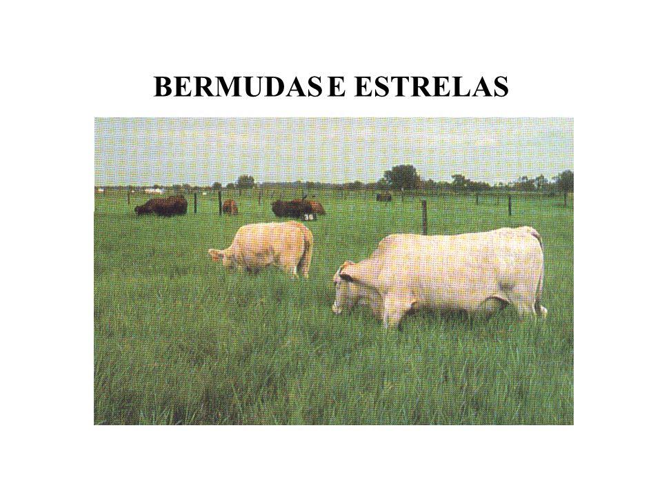 BERMUDAS E ESTRELAS