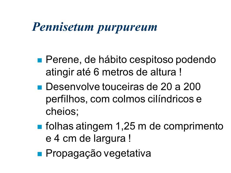 Pennisetum purpureum Perene, de hábito cespitoso podendo atingir até 6 metros de altura !