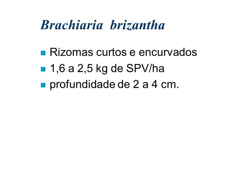Brachiaria brizantha Rizomas curtos e encurvados