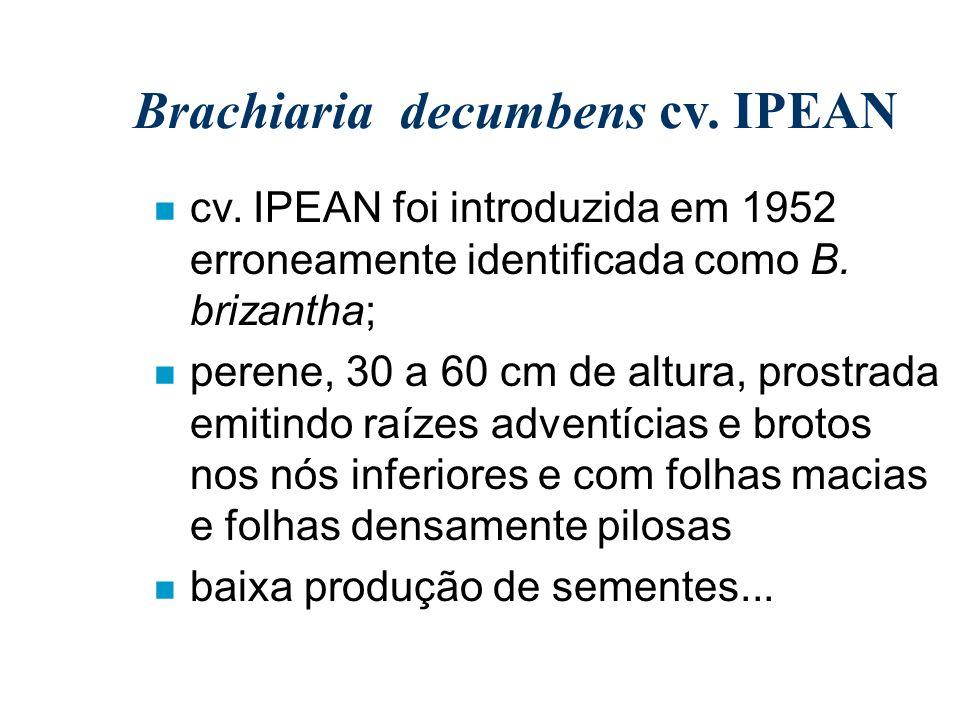 Brachiaria decumbens cv. IPEAN