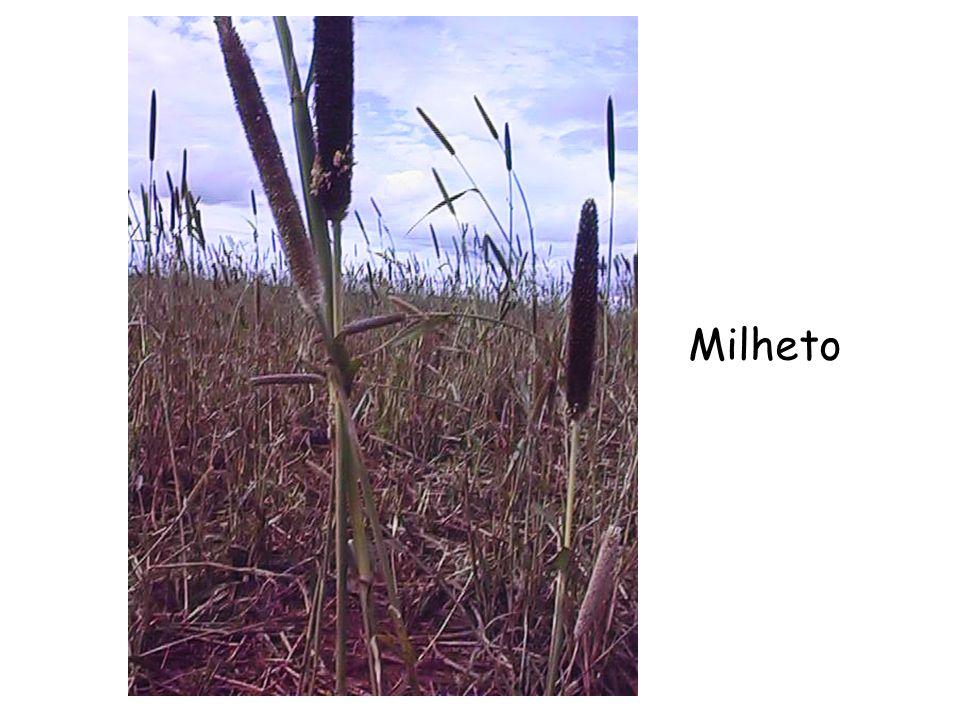 Milheto