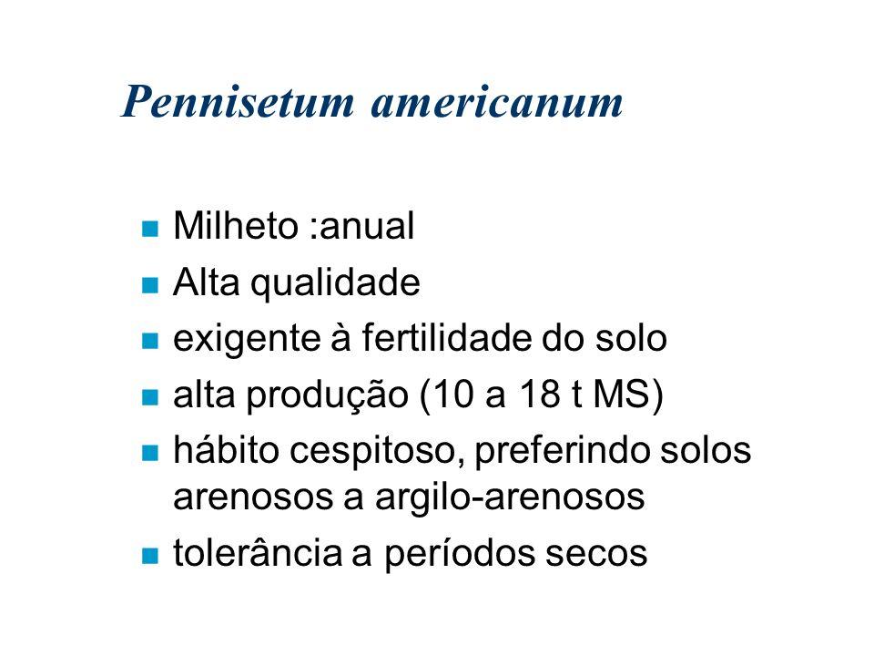 Pennisetum americanum