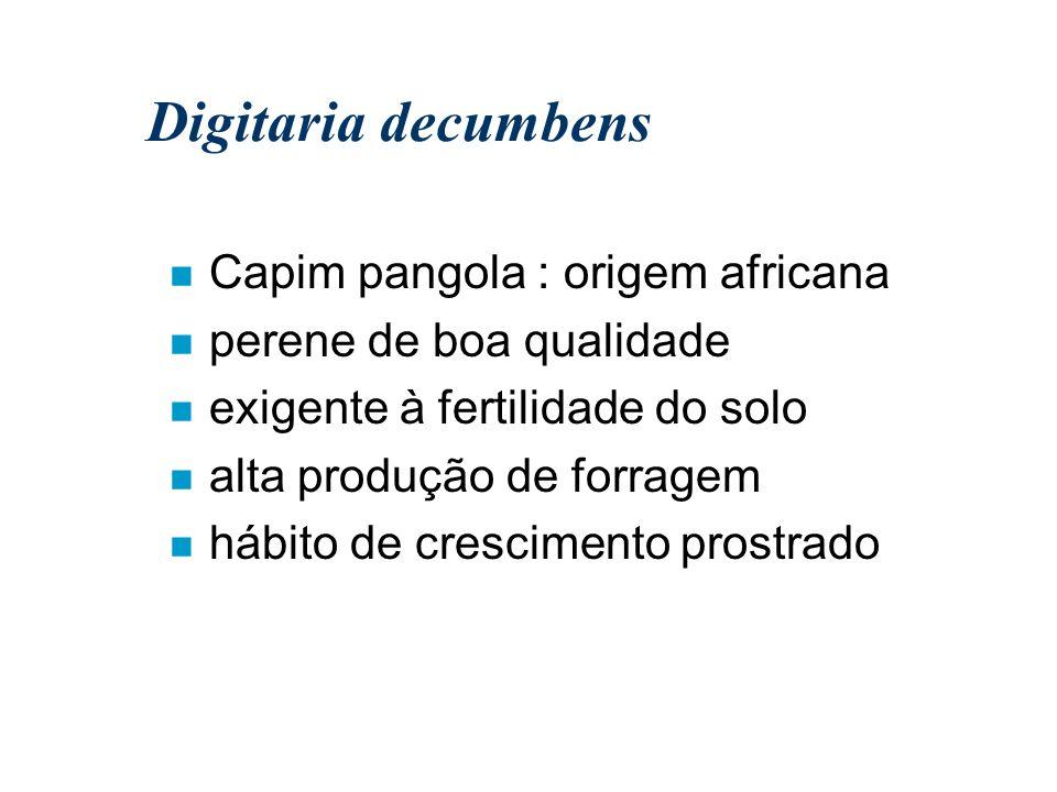Digitaria decumbens Capim pangola : origem africana