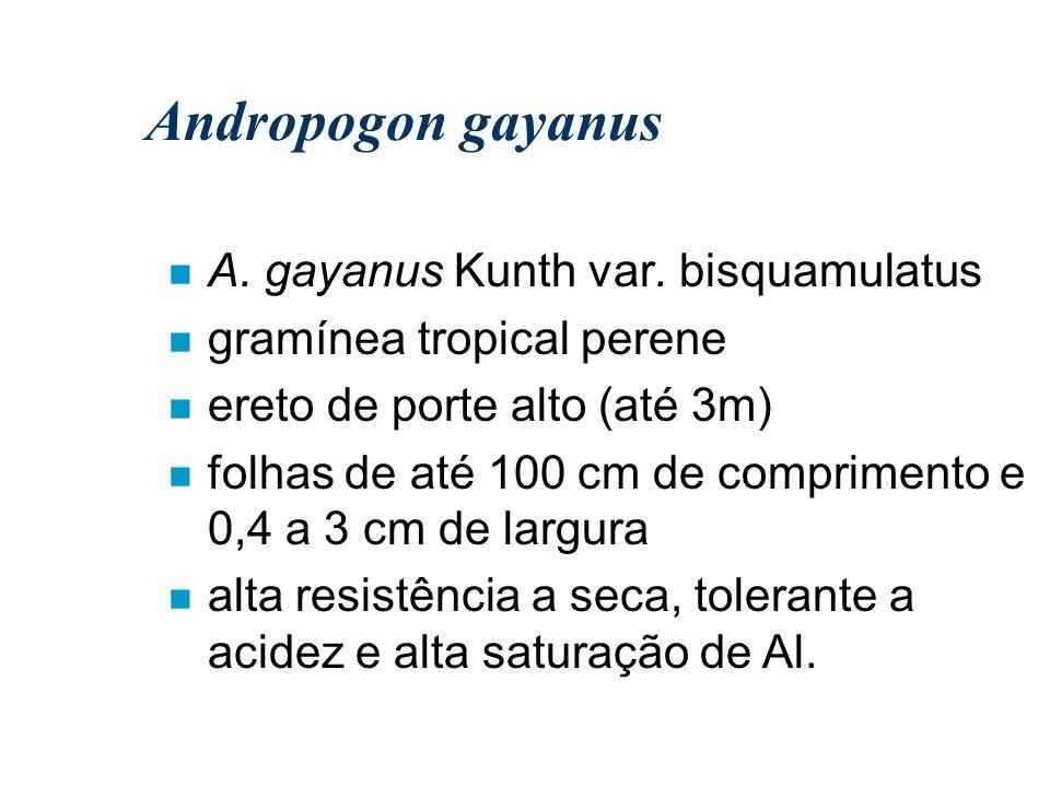 Andropogon gayanus A. gayanus Kunth var. bisquamulatus