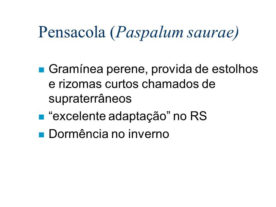 Pensacola (Paspalum saurae)