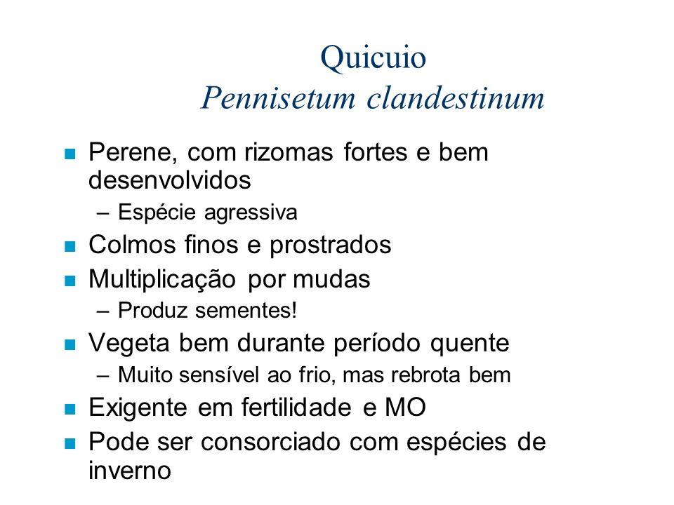 Quicuio Pennisetum clandestinum