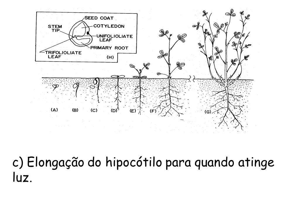 c) Elongação do hipocótilo para quando atinge